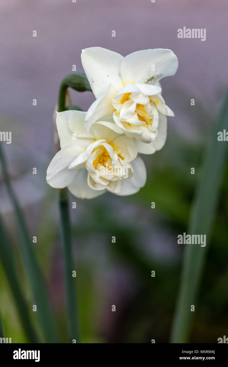 'Cheerfulness' Double Narcissus group, Dubbel påsklilja (Narcissus) - Stock Image