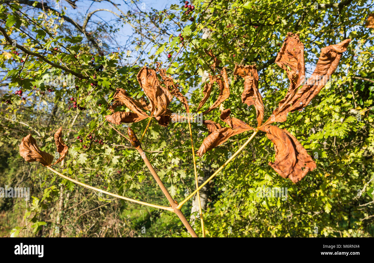 Horse Chestnut leaves, possibly damaged by a leaf miner causing them to be dry, brown and withered while still on - Stock Image