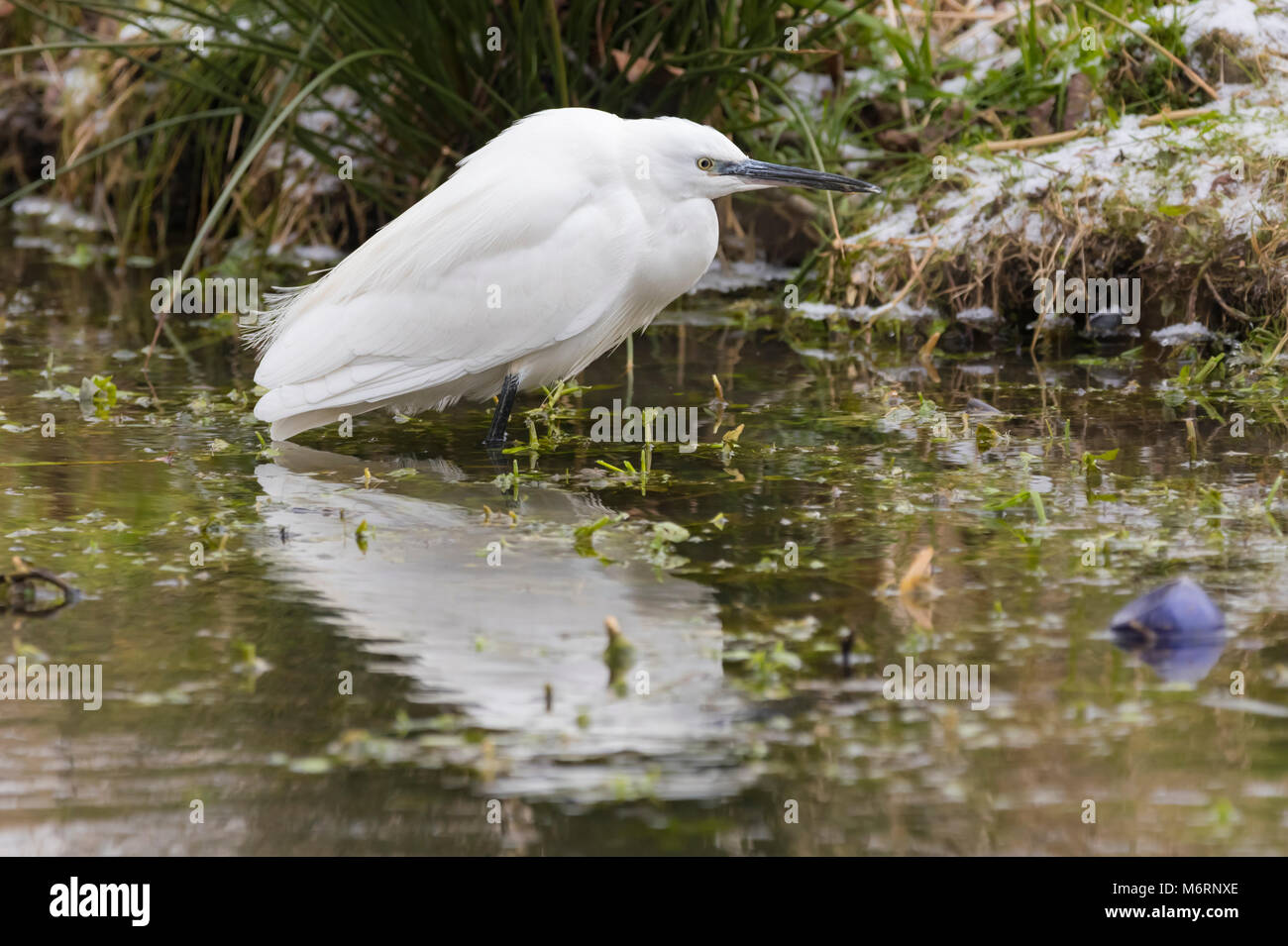 Little Egret bird (Egretta garzetta) standing in water waiting for fish on a very cold Winter day in West Sussex, Stock Photo