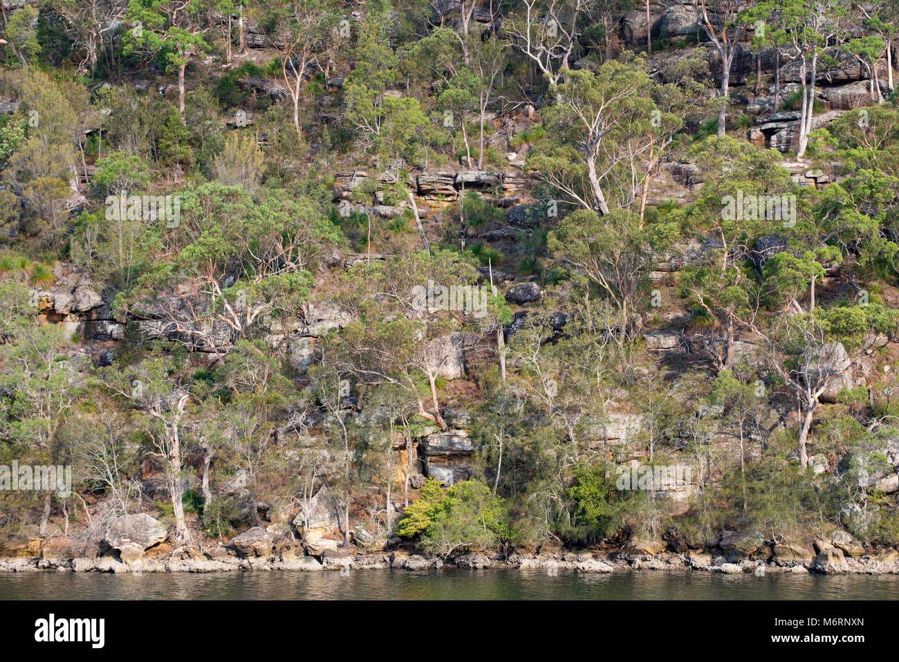 Eucalyptus (Gum) trees cover a hillside in Kuring-gai national park near Bobbin Head to the north of Sydney NSW, - Stock Image