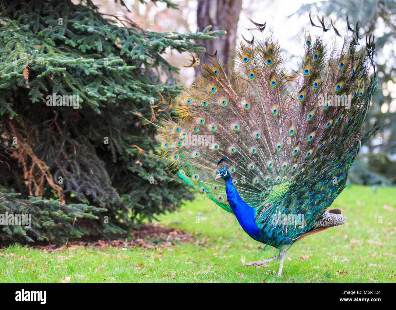 Peacock, male peafowl () spreading its wings and opening its feathers for a full feather display in parkland Stock Photo