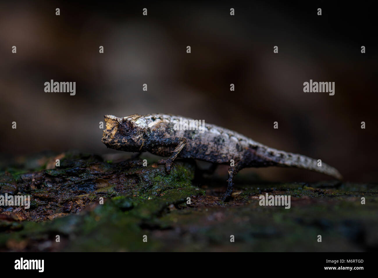 chameleon - Brookesia tristis, small endangered beautiful endemic chameleon from Madagascar tropical forest. Camouflage. - Stock Image