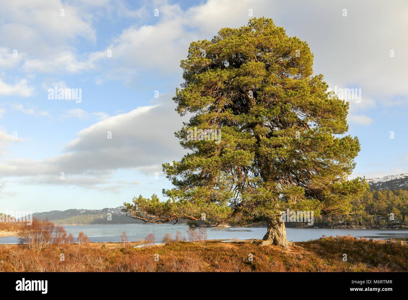 Pinus Sylvestris Christmas Stock Photos & Pinus Sylvestris