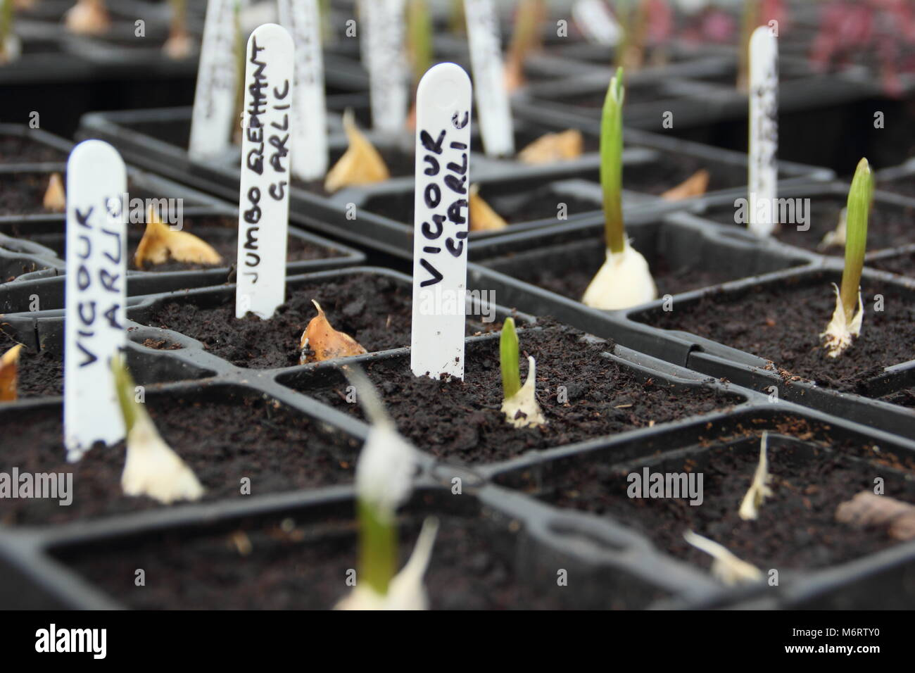 Vigour and Jumbo Elephant garlic. Young garlic plants emerging from modular trays in a greenhouse, UK garden - Stock Image