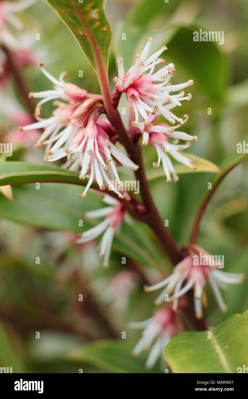 Fragrant Flowers Of Winter Flowering Sarcococca Hookeriana Var Stock