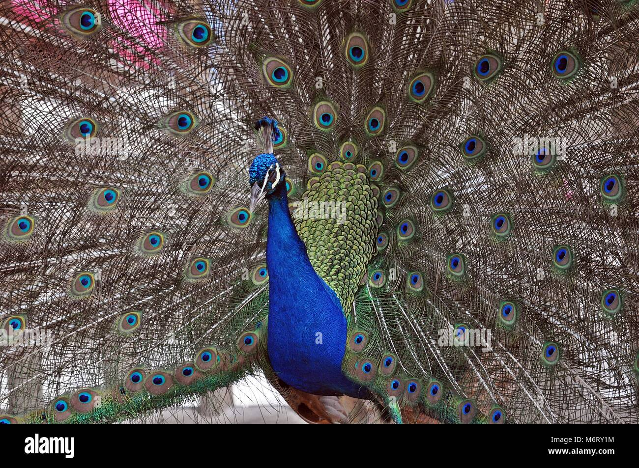 Peacock Showing plumage, Colorful awesome animal bird - Stock Image