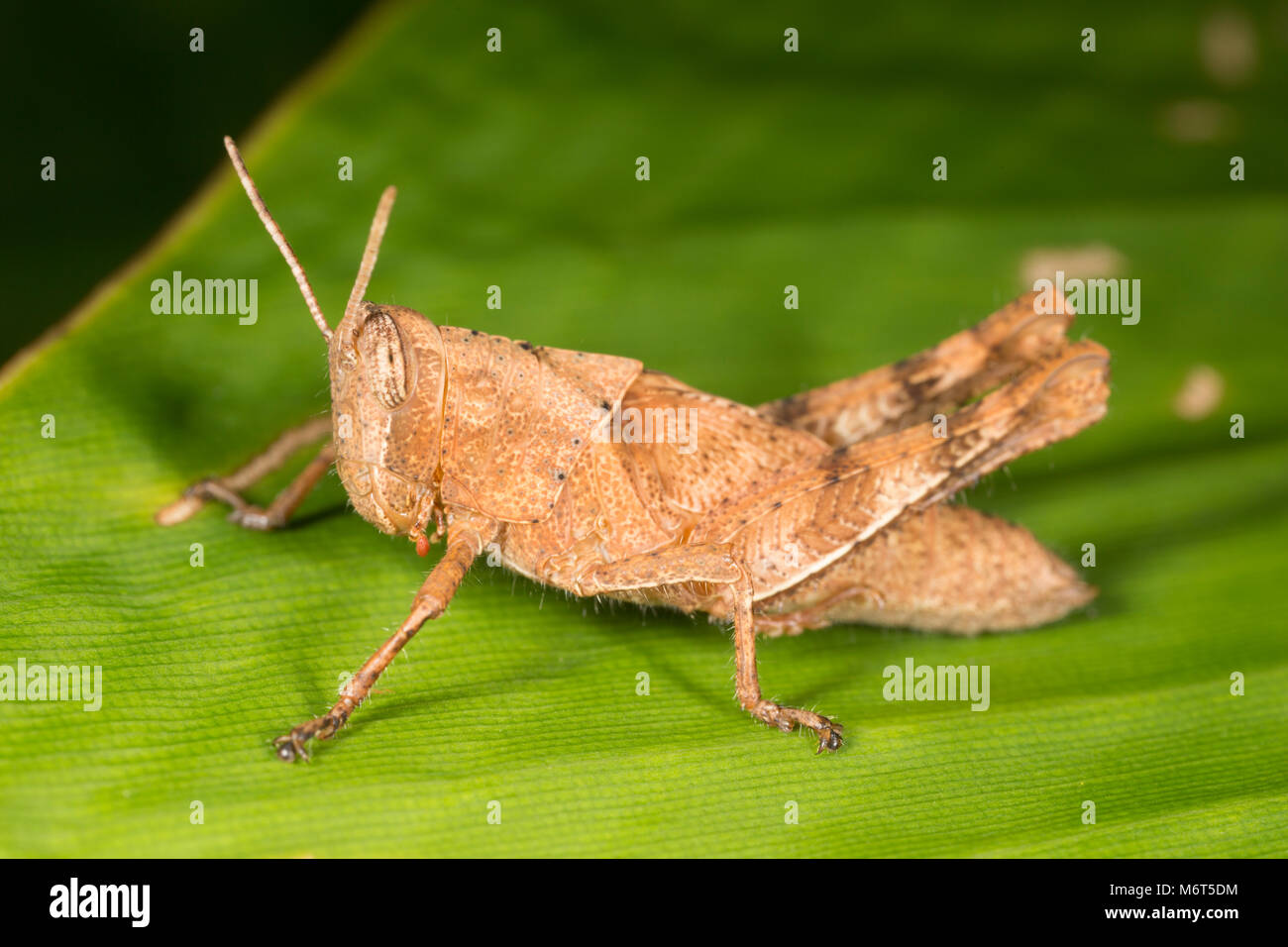 Grasshopper photographed near Botapassie, Suriname - Stock Image
