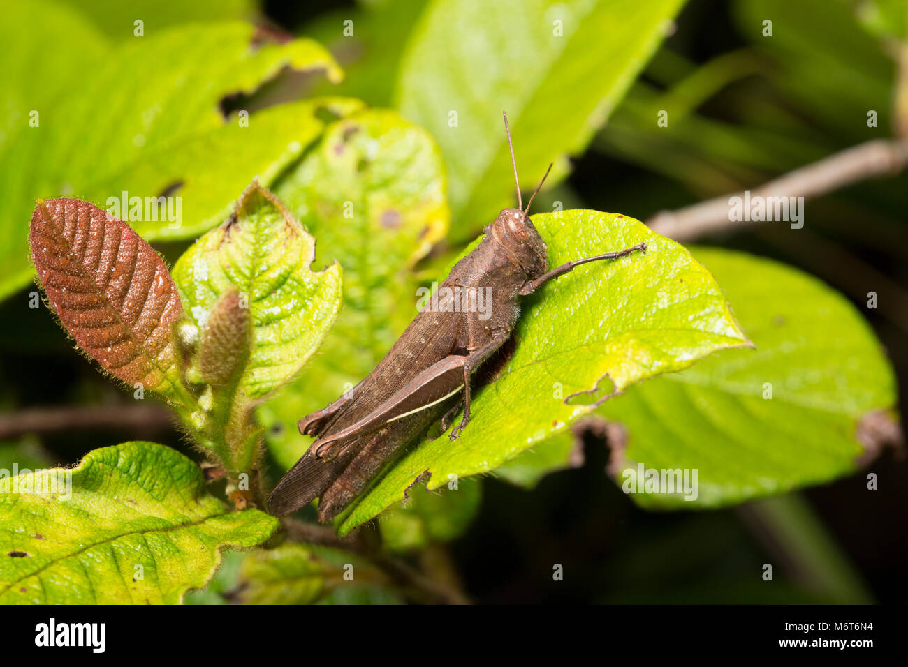 Grasshopper photographed at Botapassie, Suriname, South America - Stock Image