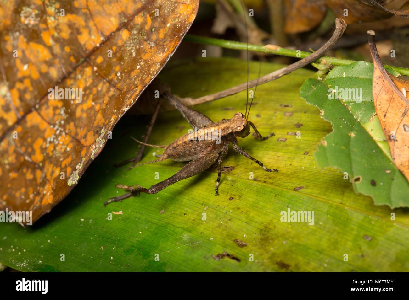 Bush cricket or katydid, Suriname, South America - Stock Image