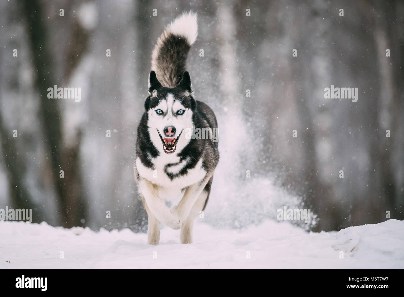 Siberian Husky Dog Running Outdoor In Snowy Field At Winter Day. Smiling Dog. - Stock Image