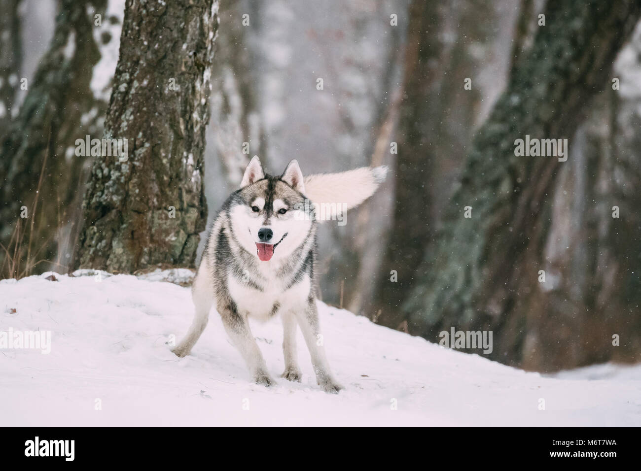 Siberian Husky Dog Running Outdoor In Snowy Field At Winter Day. - Stock Image