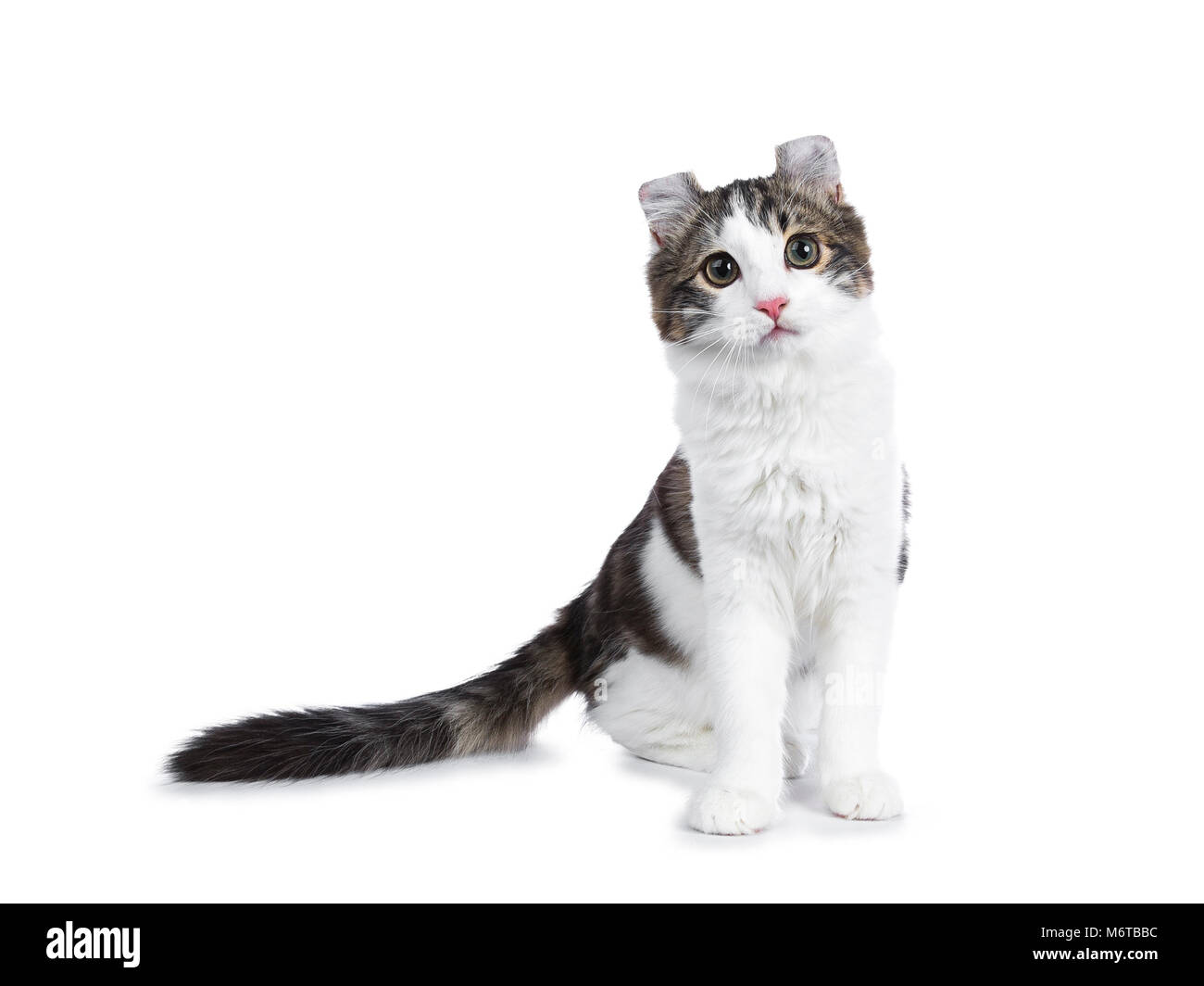 Black tabby with white American Curl cat / kitten standing facing the camera looking curious isolated on white background. - Stock Image