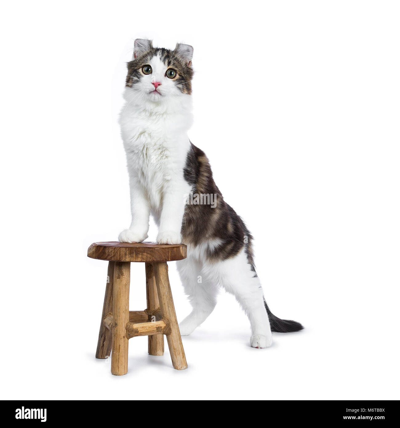 Awesome Black Tabby With White American Curl Cat Kitten Standing Inzonedesignstudio Interior Chair Design Inzonedesignstudiocom