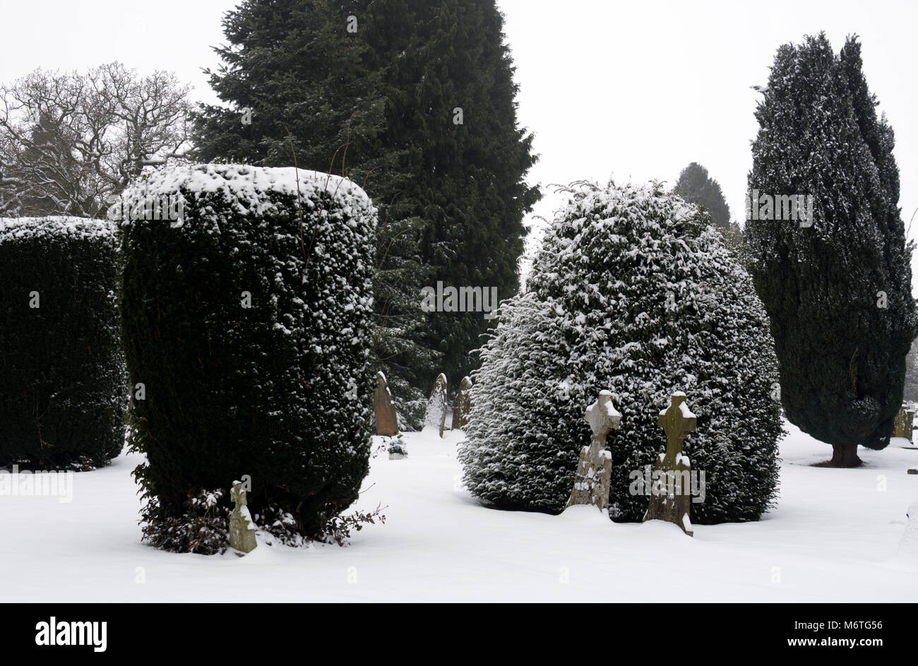 Trimmed yews and other conifers in snow, Warwick cemetery, Warwickshire, UK - Stock Image