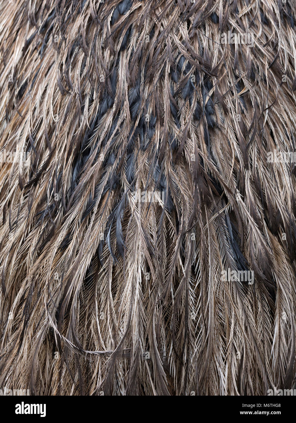 Emu Dromaius novaehollandiae showing plumage detail - Stock Image