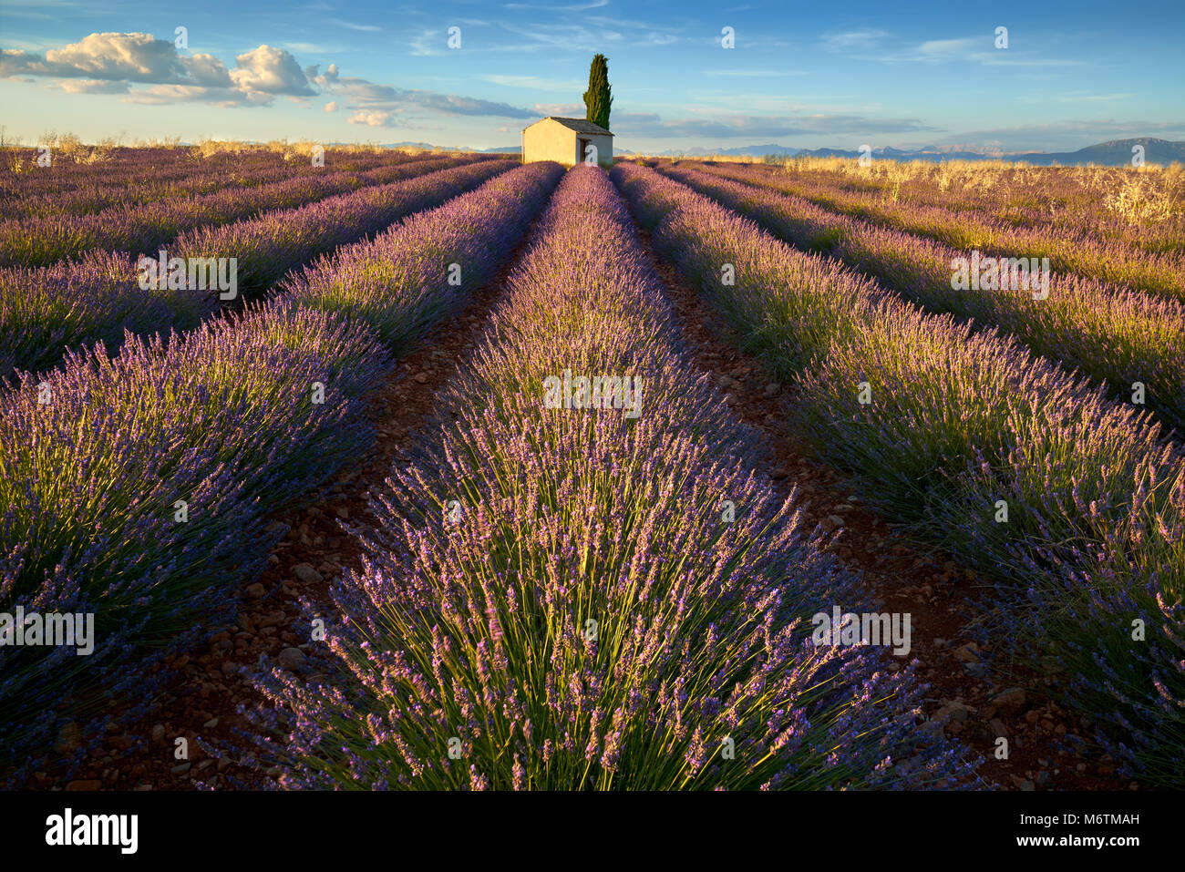 Lavender fields of Valensole with cypress tree and house in Summer at sunset. Alpes de Haute Provence, PACA Region, - Stock Image