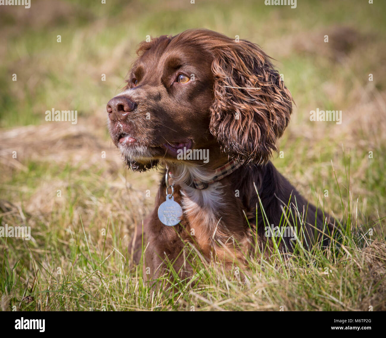 Headshot of a pedigree Working Cocker Spaniel enjoying a walk on a field on a sunny day breaks for a rest in the - Stock Image