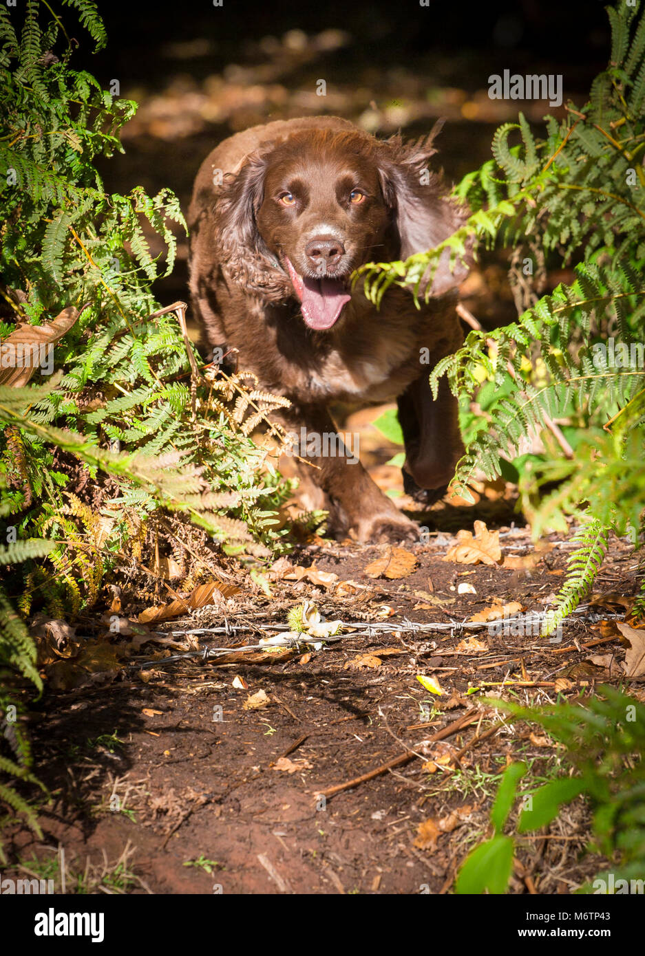 Working Cocker Spaniel runs out from the woods between ferns into the sunshine - Stock Image