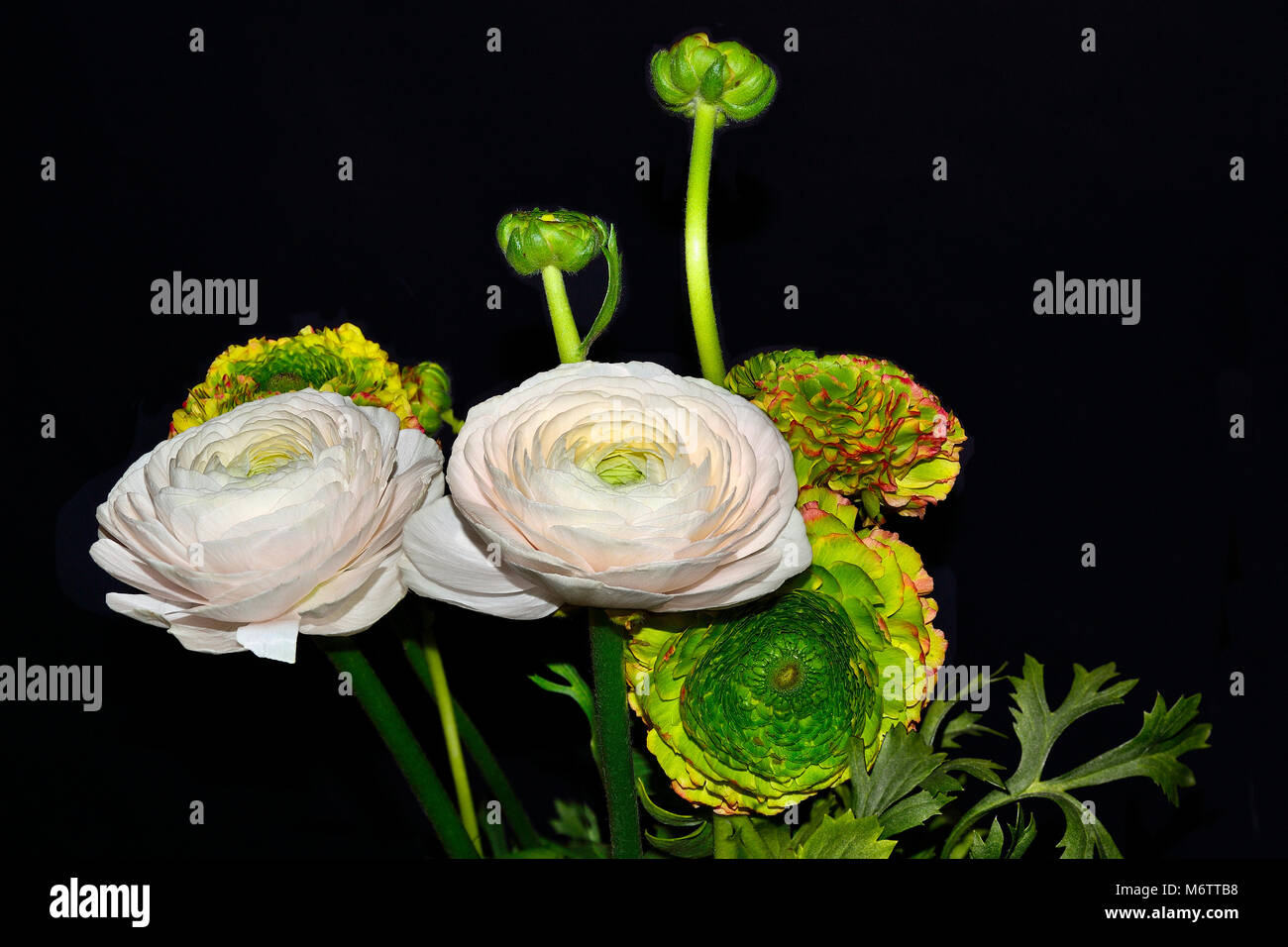 Bouquet of gentle ranunculus asiaticus flowers pale-pink and varicoloured with green heart close up, isolated on - Stock Image
