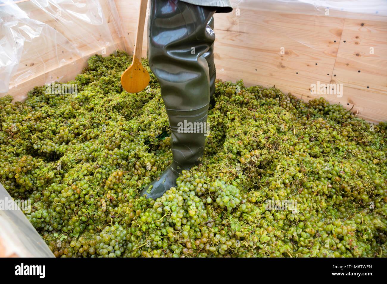 a man pounding grapes in a farm - Stock Image