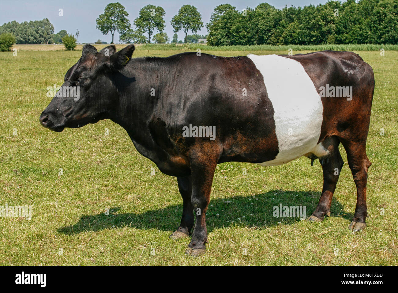 Beautiful Dutch black and white Lakenvelder cow standing in field. Unique Dutch breed. - Stock Image