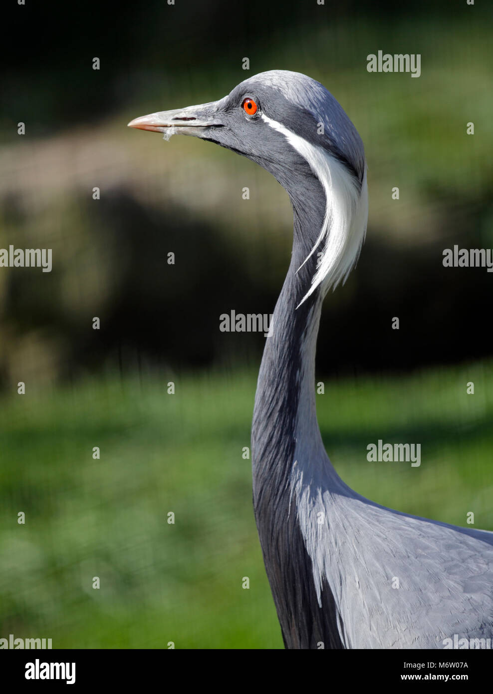 Demoiselle Crane (anthropoides virgo) Stock Photo