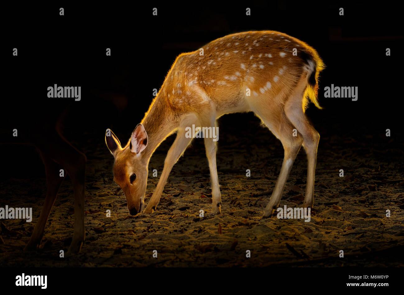 Baby Deer on dark background Golden deer beside Golden light on the body - Stock Image