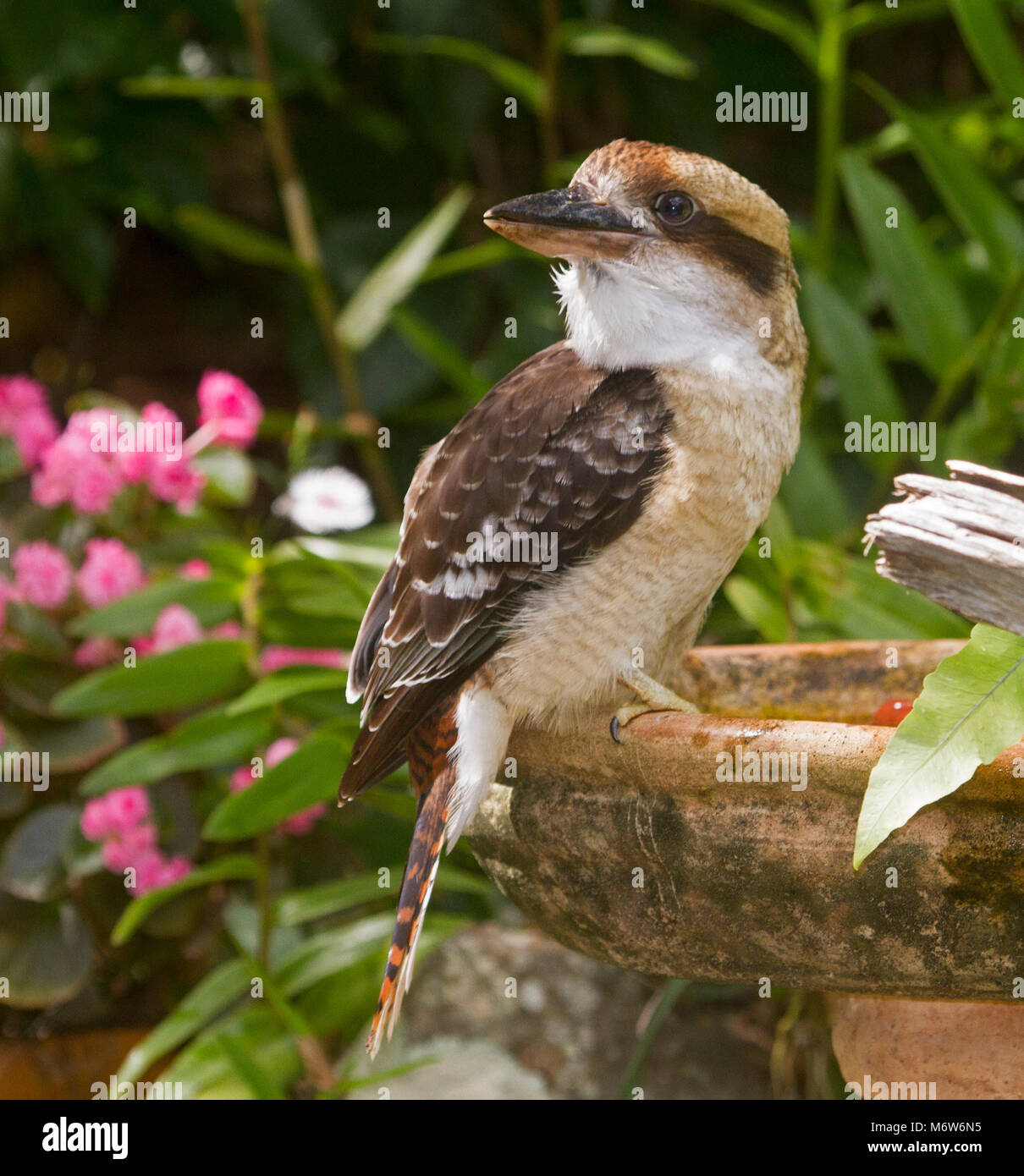 Kookaburra, Australian Laughing jackass, Dacelo novaeguineae at a garden bird bath with background of green foliage - Stock Image
