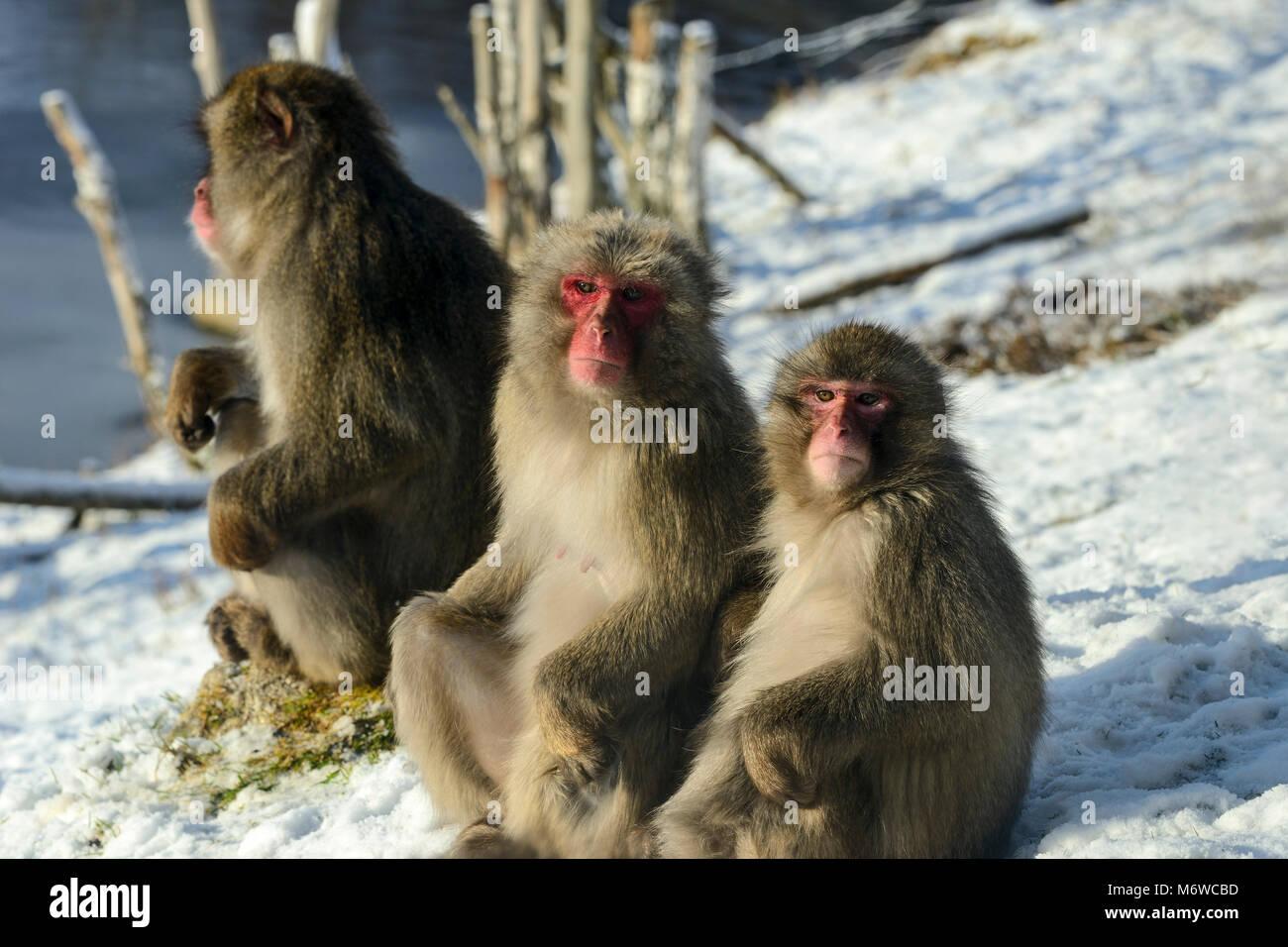 Japanese Macaques or Snow Monkeys (Macaca fuscata) at Highland Wildlife Park, Kincraig, Kingussie, Scotland, UK - Stock Image