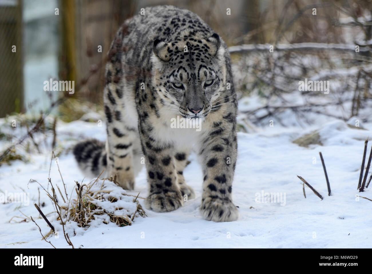 Captive snow leopard (Panthera uncia) at Highland Wildlife Park, Kincraig, Kingussie, Scotland, UK - Stock Image