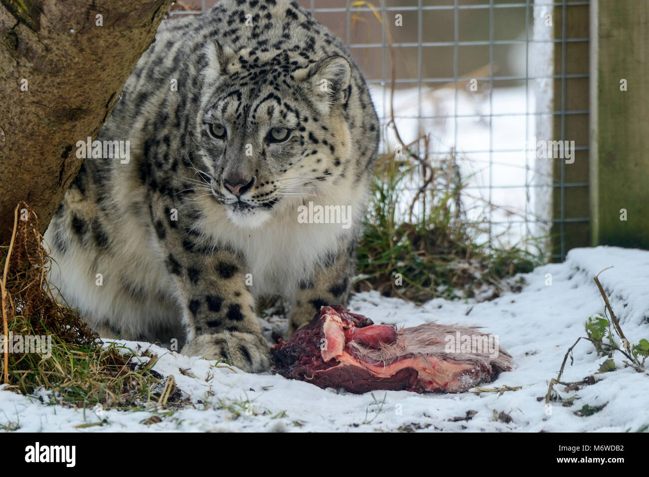 Feeding time for captive snow leopard (Panthera uncia) at Highland Wildlife Park, Kincraig, Kingussie, Scotland, - Stock Image