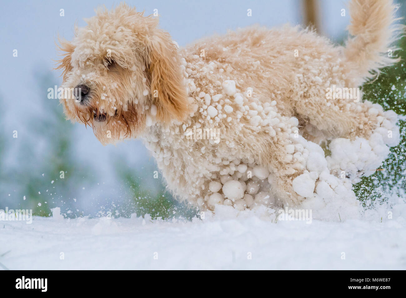 Cockapoo puppy playing in a fresh layer of snow for its first time. - Stock Image