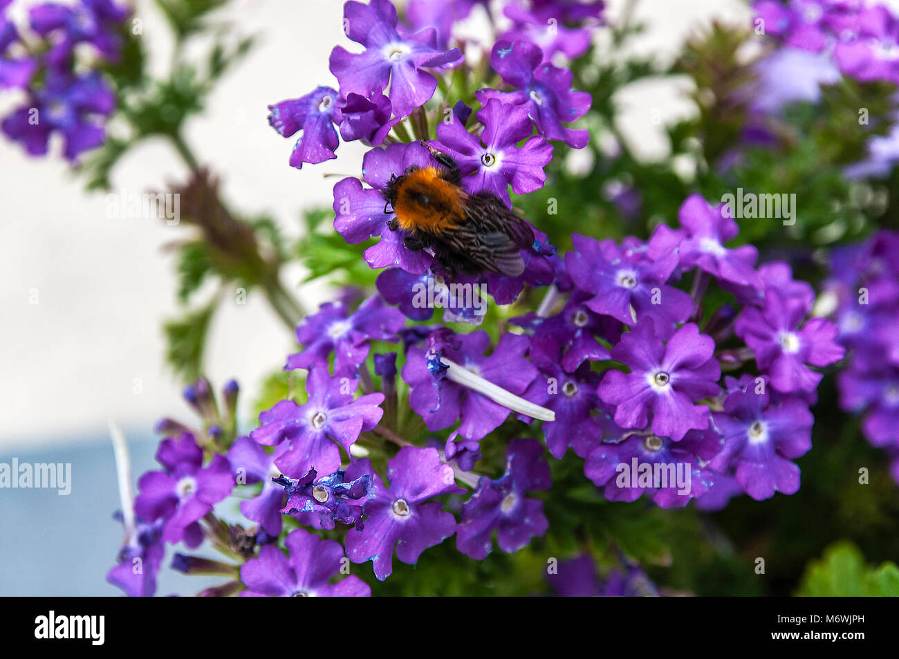 close up of a a bee sitting on a purple flower Stock Photo