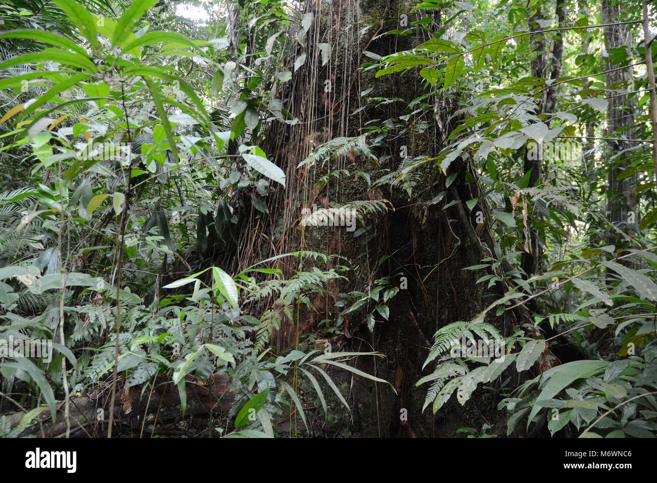 An ancient old growth tree in a tropical rainforest, Corcovado National Park, in the Osa Peninsula of Costa Rica. - Stock Image