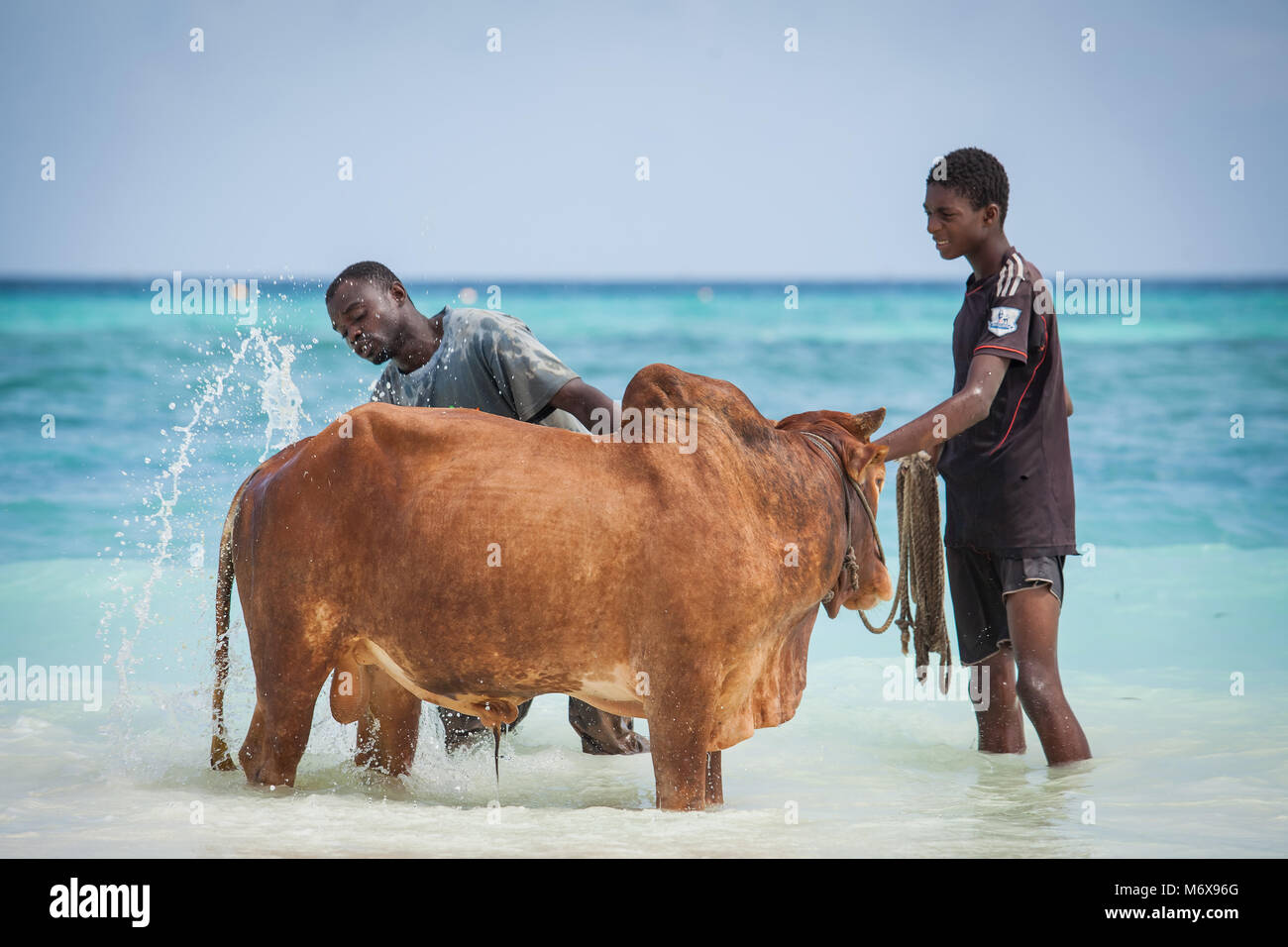 Men washing cow in the sea on beach in Stone Town, Zanzibar Island,Tanzania. - Stock Image