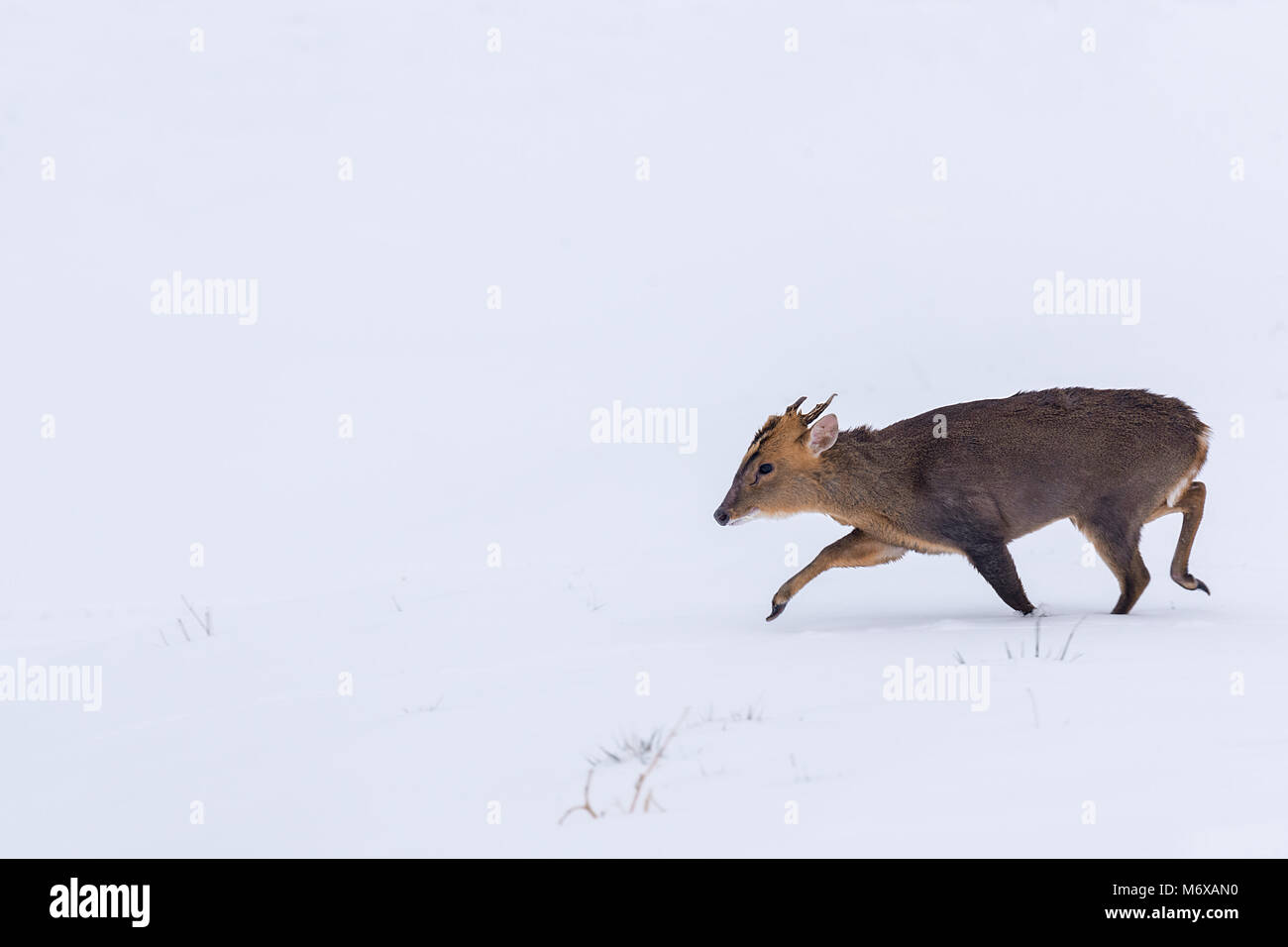 A majestic buck Muntjac making his way across a heavily snow covered field. - Stock Image