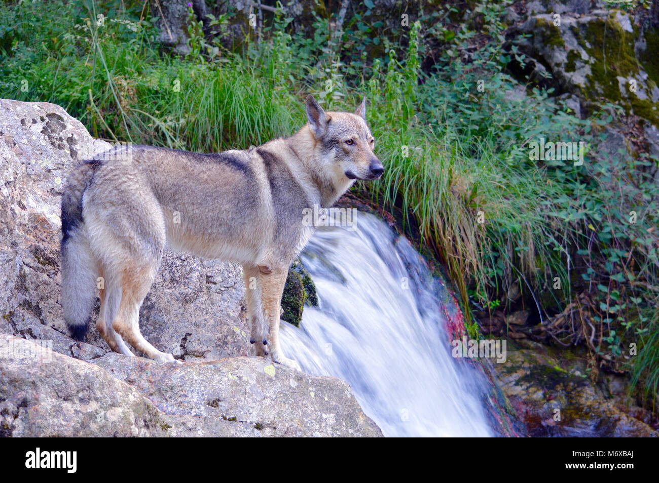 Czechoslovakian wolfhound in a stream - Stock Image