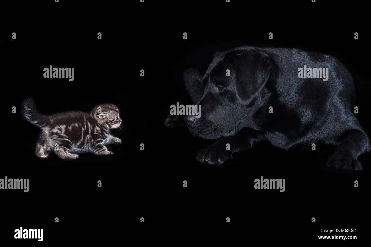Large black labrador dog attentively looks at small kitten Scottish Fold - Stock Image