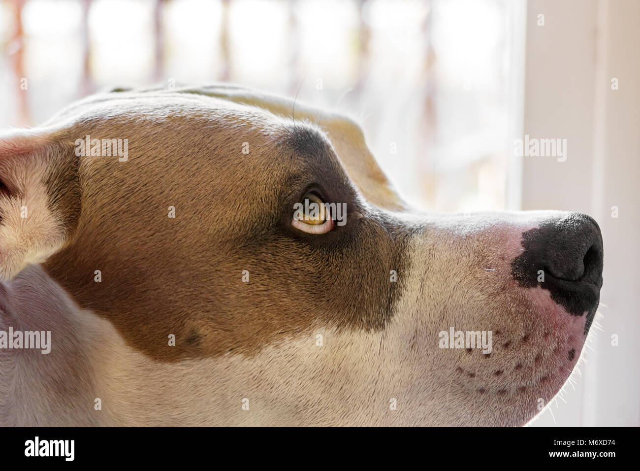 A close-up from the side of a dog (pit bull mix) (Canis lupus familiaris) looking upward at his master, appearing - Stock Image