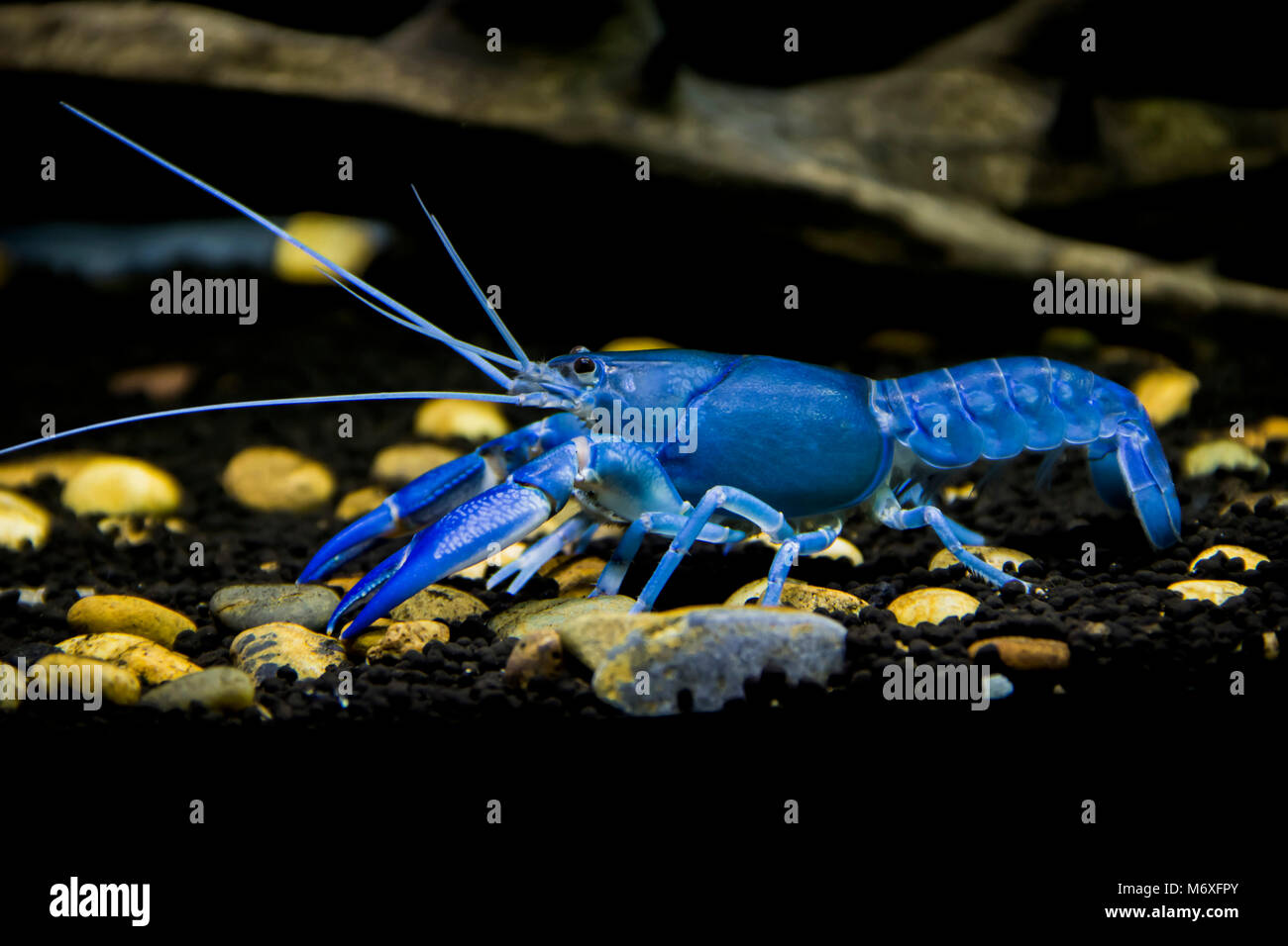 Crayfish Cherax destructor - Stock Image