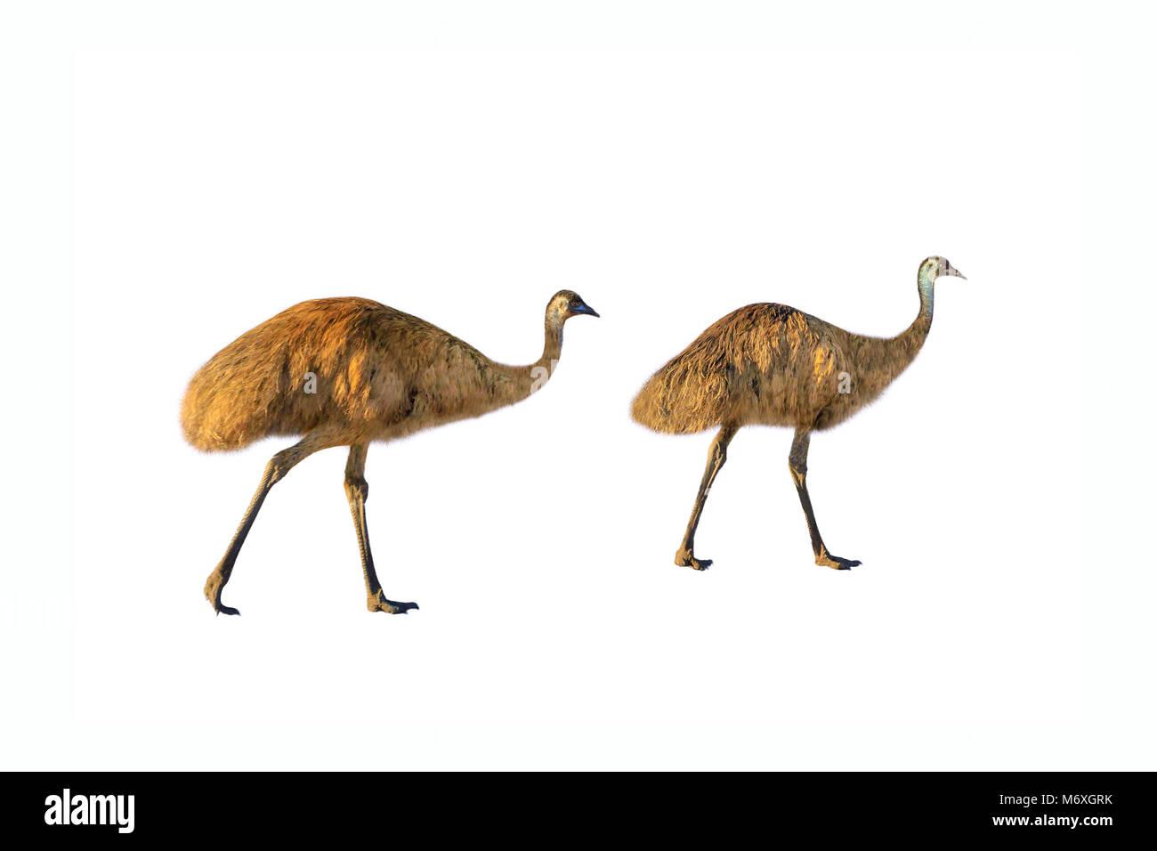 Two Emus, Dromaius novaehollandiae, walking, isolated on white background.The emu is the symbolic national bird - Stock Image