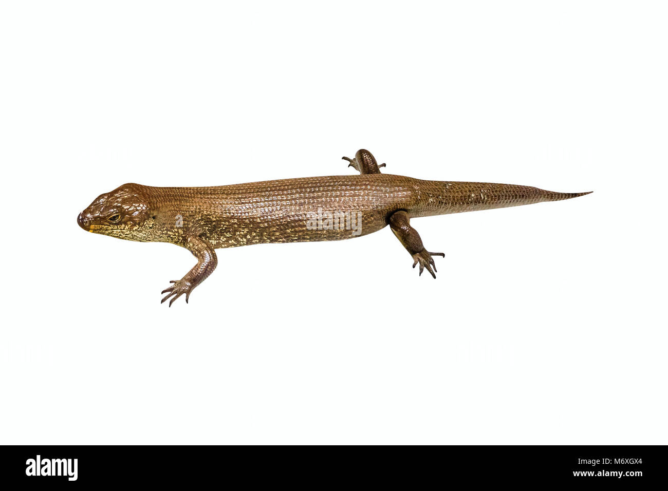 Egernia kingii, King's skink, isolated on white background. It is found in the coastal regions of south-western - Stock Image