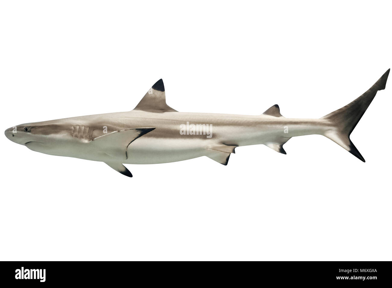 Side view of Australian blacktip shark, Carcharhinus tilstoni, isolated on white. Is a species of requiem shark, - Stock Image