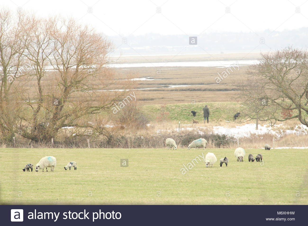 Pastoral landscape scene during winter -  a farmer walking at the edge of his field while his herd of British sheep - Stock Image