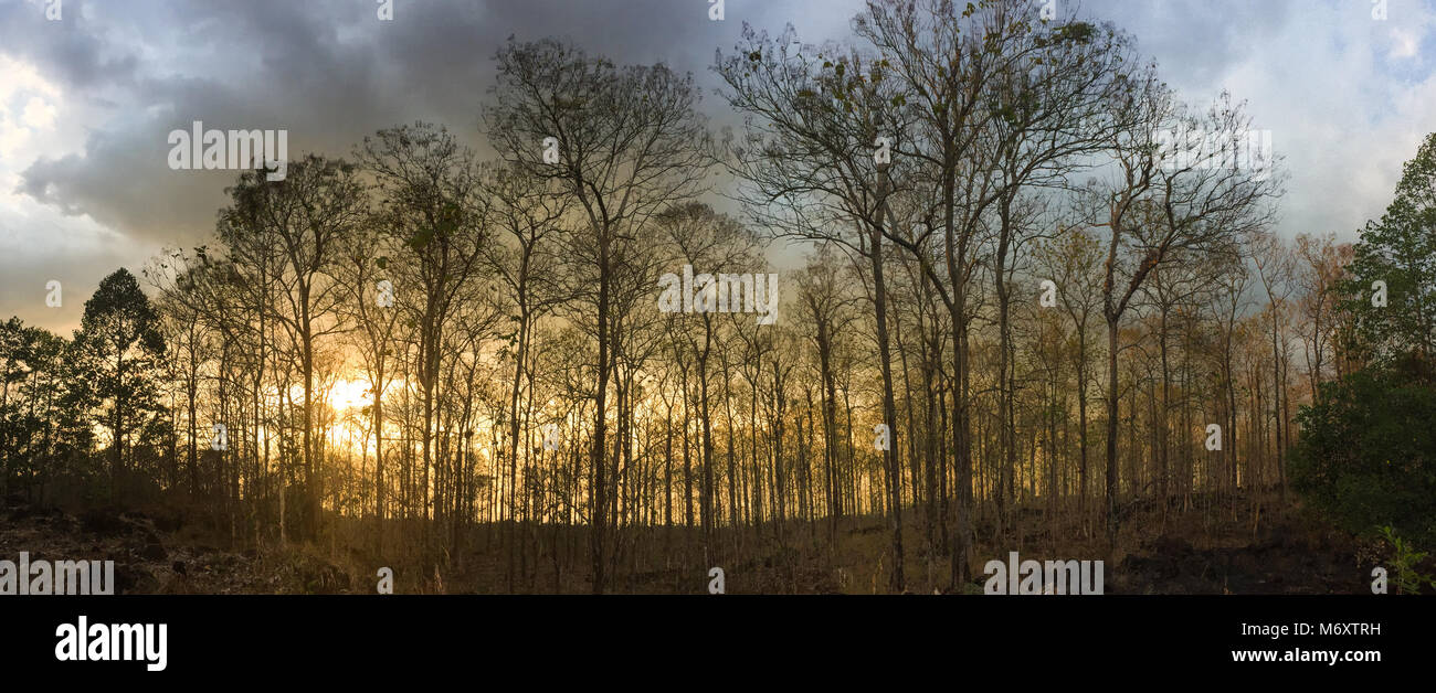 Trees in forest at sunset in Dong Nai, Southern Vietnam. - Stock Image