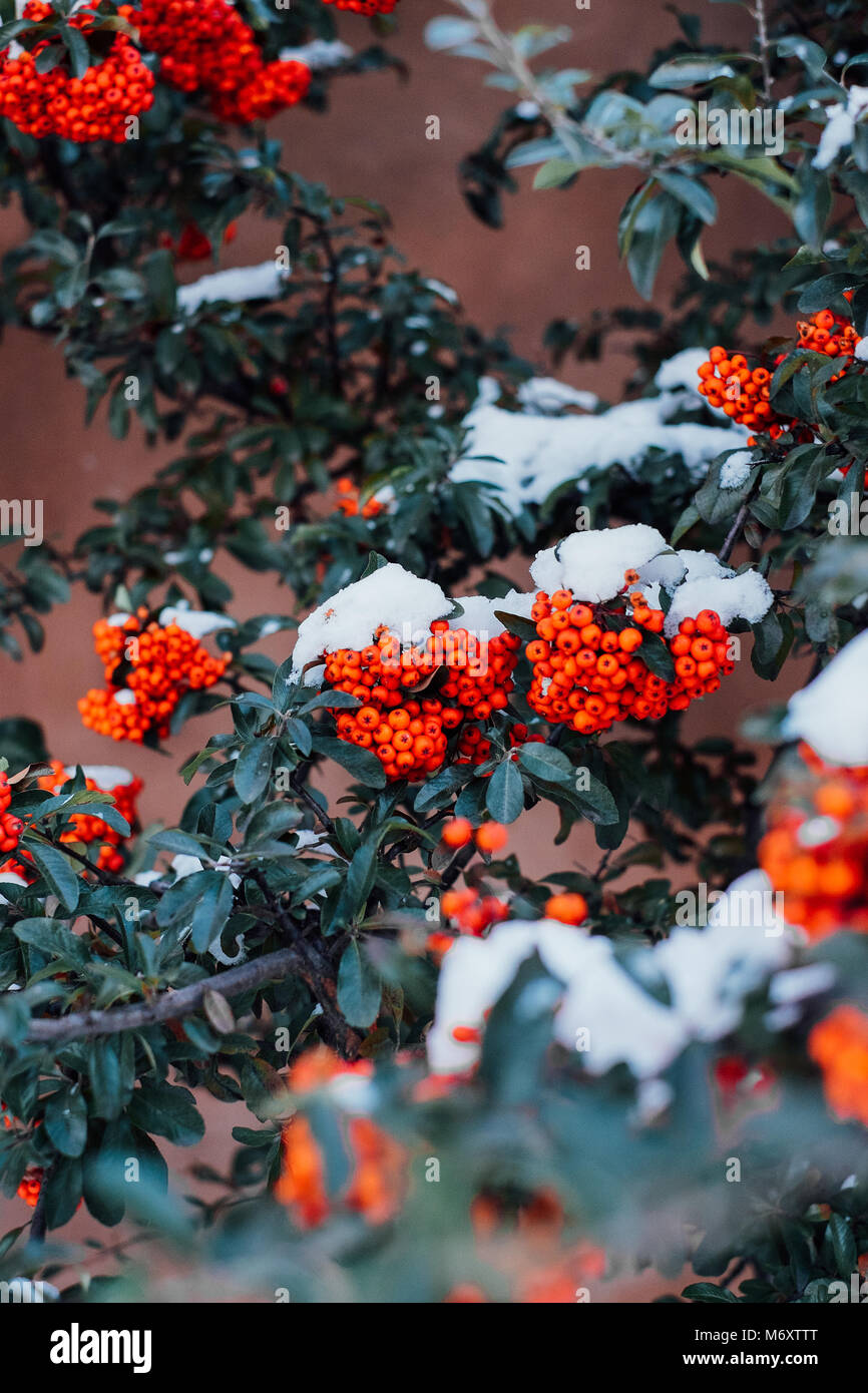 Holly in the Winter - Stock Image