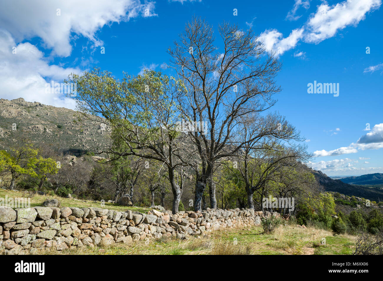 Bare Narrow-leafed ash tree, Fraxinus angustifolia, next to a stone wall in Guadarrama Mountains, El Boalo, Madrid, Stock Photo