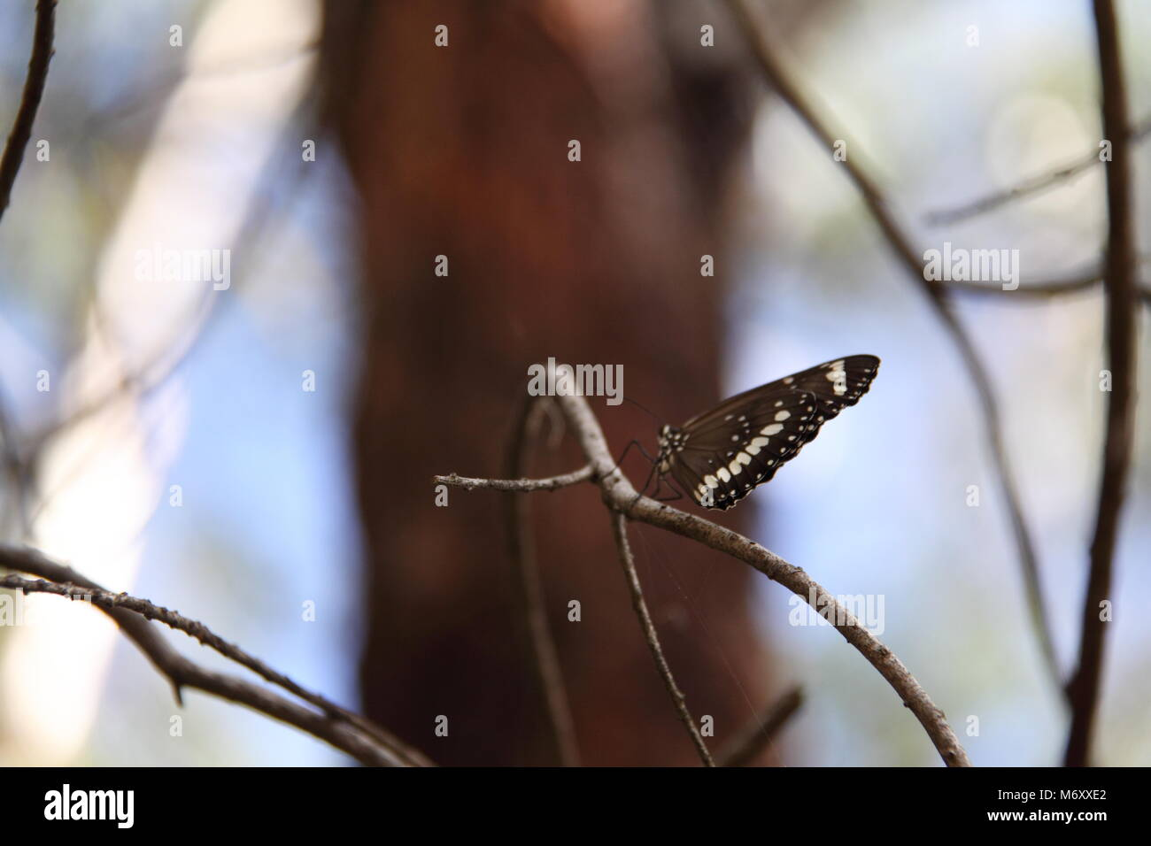 Common Crow Butterfly (Euploea Core) - Stock Image