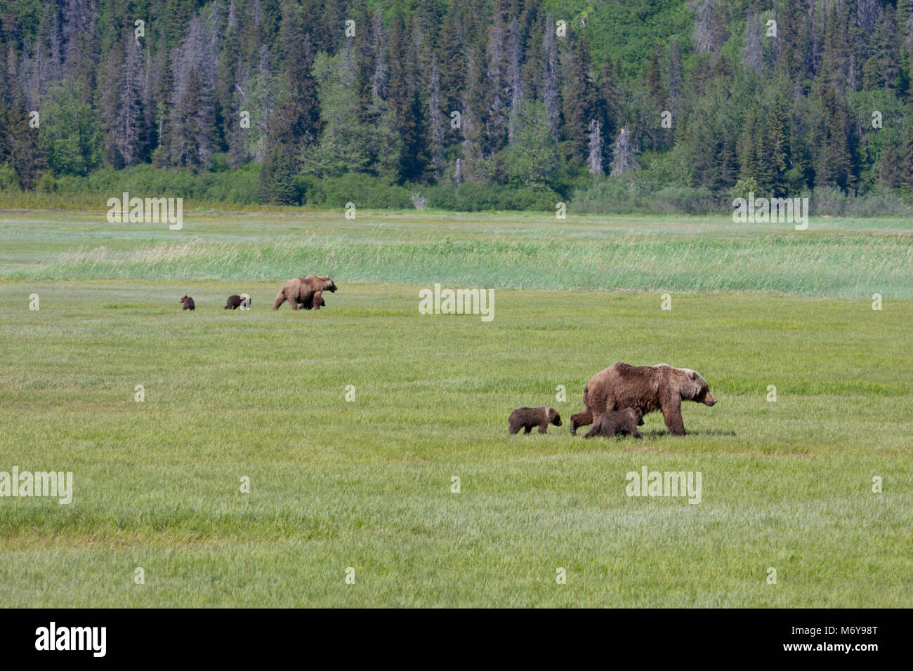 Harmony   . Brown bears gather in high numbers in Chinitna Bay's salt marshes to graze on the protein rich sedges. Stock Photo