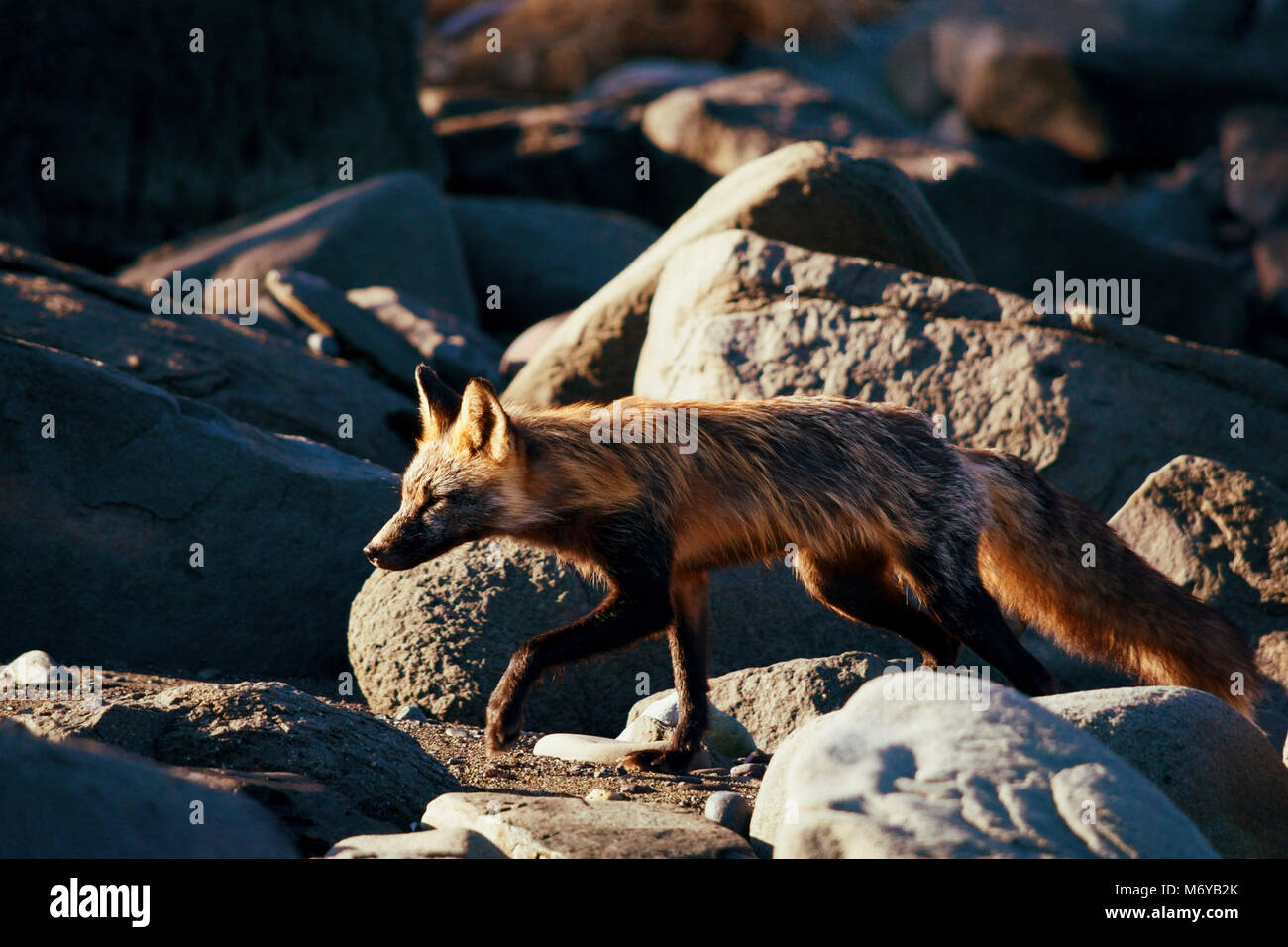 Red Fox (Vulpes vulpes)   . Red foxes can have many color phases including red, cross, silver, and black.  This - Stock Image